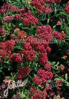 ACHILLEA millefolium  'Cerise Queen' Portion(s)