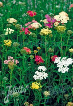 ACHILLEA millefolium  'Summer Pastels' Portion(en)