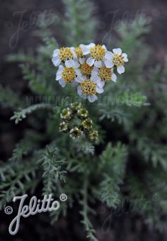 ACHILLEA nana   Portion(s)