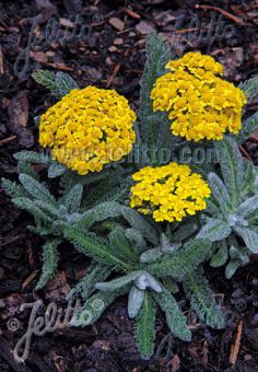 ACHILLEA tomentosa  'Golden Fleece'(TM) Portion(s)