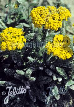 ACHILLEA tomentosa  'Aurea' Portion(s)