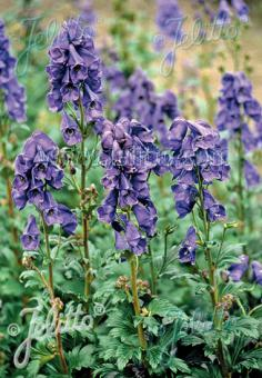 ACONITUM carmichaelii Arendsii-Group   Portion(en)