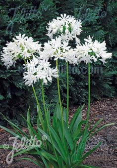 AGAPANTHUS praecox  'Getty White' Portion(s)