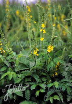 AGRIMONIA eupatoria   Portion(s)