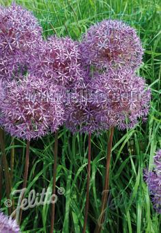 ALLIUM aflatunense   Portion(s)