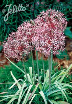ALLIUM christophii   Portion(en)