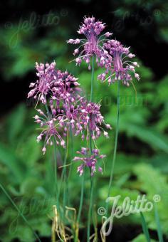 ALLIUM carinatum ssp. pulchellum   Portion(s)