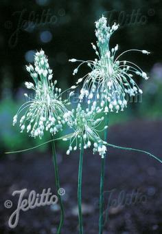 ALLIUM carinatum ssp. pulchellum  f. album Portion(s)