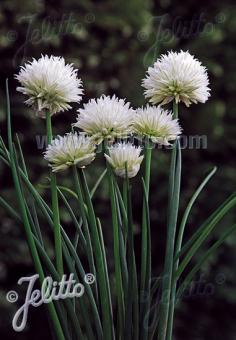 ALLIUM schoenoprasum Ornamental-One Serie 'White One' Portion(en)