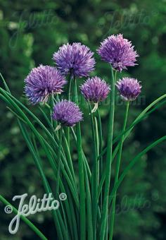 ALLIUM schoenoprasum Ornamental-One Series 'Purple One' Portion(s)