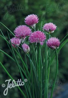 ALLIUM schoenoprasum Ornamental-One Series 'Pink One' Portion(s)