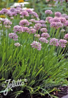 ALLIUM senescens ssp. montanum   Portion(s)