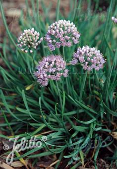 ALLIUM senescens ssp. glaucum   Portion(s)