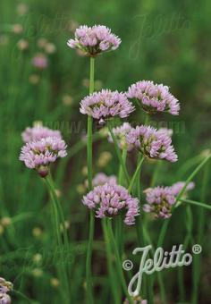 ALLIUM suaveolens   Portion(s)