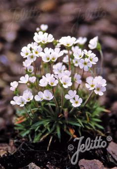 ANDROSACE carnea ssp. brigantiaca   Portion(en)