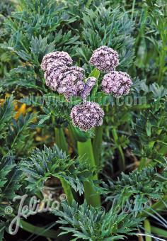 ANISOTOME latifolia   Portion(en)