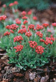 ANTENNARIA dioica  'Rubra' Portion(en)