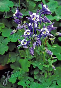 AQUILEGIA vulgaris Winky-Series 'Winky Blue-White' Portion(s)