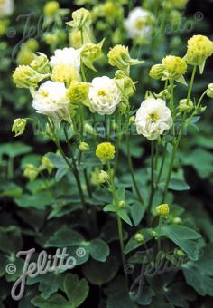 AQUILEGIA vulgaris Winky-Series 'Winky Double White-White' Portion(s)