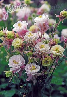 AQUILEGIA vulgaris Winky-Series 'Winky Double Rose-White' Portion(s)
