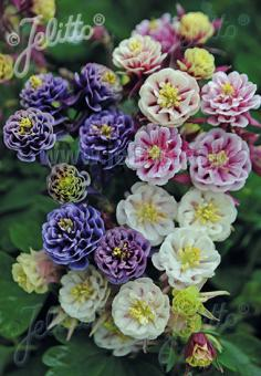 AQUILEGIA vulgaris Winky-Series 'Winky Double Formula Mix' Portion(s)