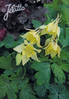 AQUILEGIA flabellata Spring Magic-Serie 'Spring Magic Gelb' Portion(en)