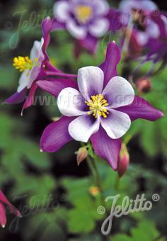 AQUILEGIA F1-Hybr. caerulea State-Series 'Vermont' Portion(s)