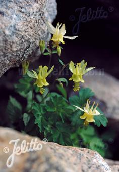 AQUILEGIA flavescens   Portion(en)