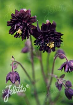 AQUILEGIA vulgaris var. stellata plena Barlow-Serie 'Black Barlow' Portion(en)