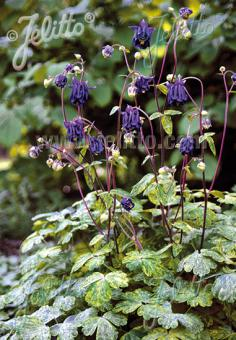 AQUILEGIA vulgaris  'Leprechaun Gold' Portion(s)