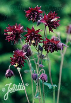 AQUILEGIA vulgaris var. stellata plena Barlow-Series 'Bordeaux Barlow' Portion(s)