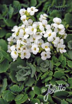 ARABIS caucasica  'Little Treasure White'(TM) Portion(s)