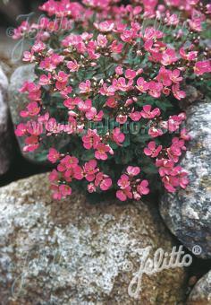 ARABIS caucasica  'Compinkie' Portion(s)