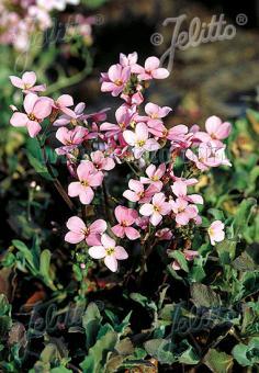 ARABIS caucasica Rosea  'La Fraicheur' Portion(s)