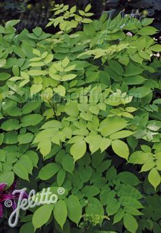 ARALIA cordata f. aurea   Portion(s)