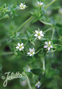 ARENARIA serpyllifolia   Portion(s)