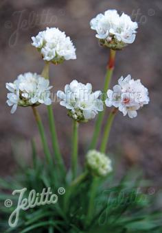 ARMERIA maritima  'Morning Star White' Portion(s)