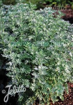 ARTEMISIA absinthium   Portion(s)