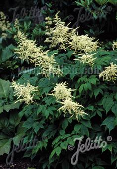 ARUNCUS sinensis   Portion(s)