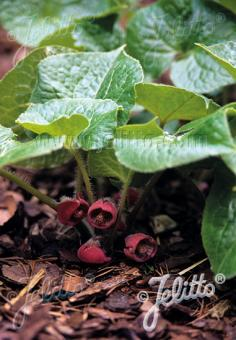 ASARUM caulescens   Portion(s)