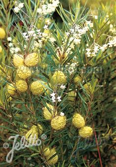 ASCLEPIAS fruticosa   Portion(s)