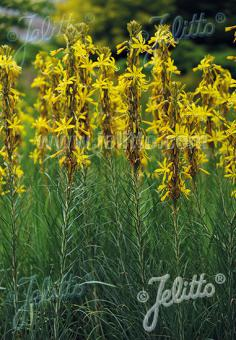 ASPHODELINE lutea   Portion(s)