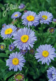 ASTER alpinus   Portion(s)
