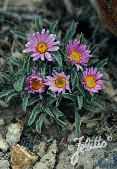 ASTER coloradoensis   Portion(s)