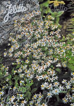 ASTER divaricatus   Portion(s)