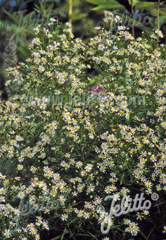ASTER ericoides   Portion(s)