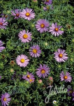 ASTER oblongifolius   Portion(s)