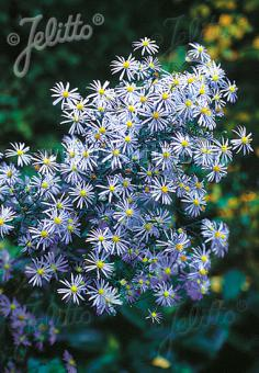 ASTER turbinellus   Portion(s)