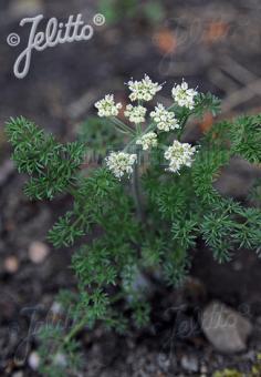 ATHAMANTA cretensis   Portion(s)