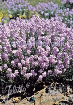 AETHIONEMA grandiflorum   Seeds